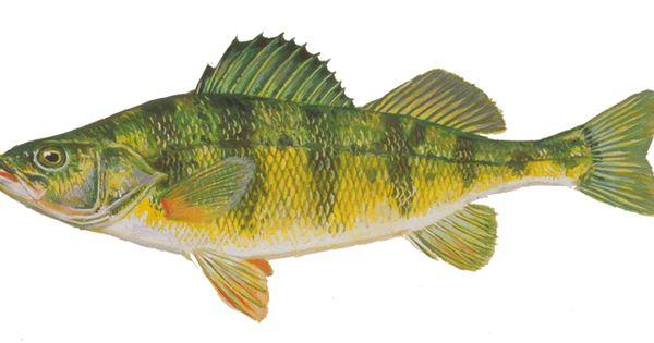 Yellow perch fish i 39 ve caught in 2015 fishing for Yellow perch fishing secrets