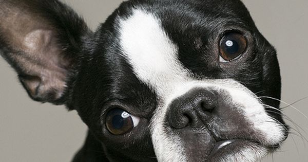 Boston terrier puppy thatheadtilt