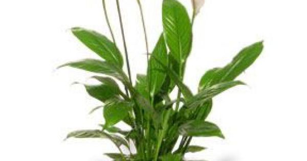 Top 10 air purifying plants for your home home the o for Buy air purifying plants