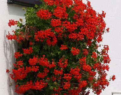 How to care for geraniums red geraniums - How to care for ivy geranium ...