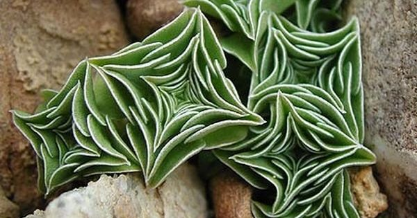 Unknown Succulent Plant Nested Leaves Combine To Give The