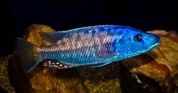 Lake malawi fish lake malawi tourism fish pinterest for Lake malawi fish