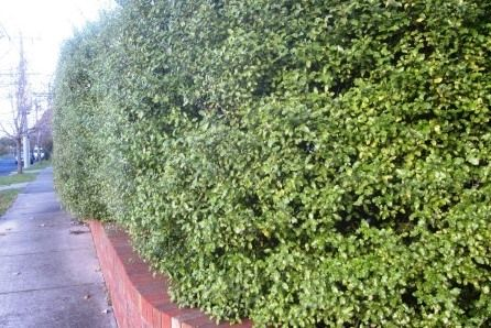 Selection Spacing Planting Tips To Help You Hedge Collections Speciality Trees Hedging Plants Plants Hedges