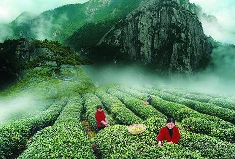 Green field of Chinese Tea Farm