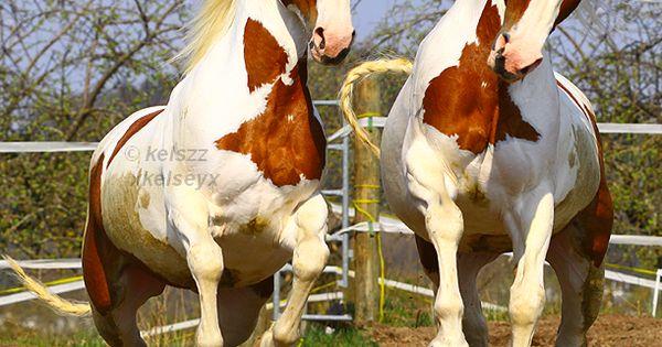 Doublement Twins! LOL American Paint Horse western quarter paint horse paint pinto