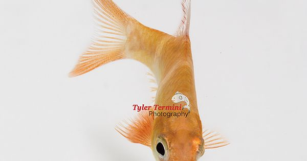 The Albino Tiger Barb Is An Attractive Color Morph Of The Regular Tiger Barb Puntius Tetrazona These Fish Make Great School Fish Pet Tetra Keep It Cleaner