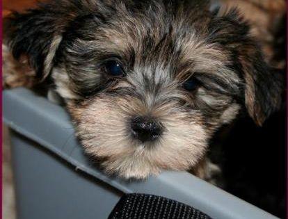 Morkie Yorktese Yorkie Maltese Puppies For Sale Iowa Maltese Puppies For Sale Maltese Puppy