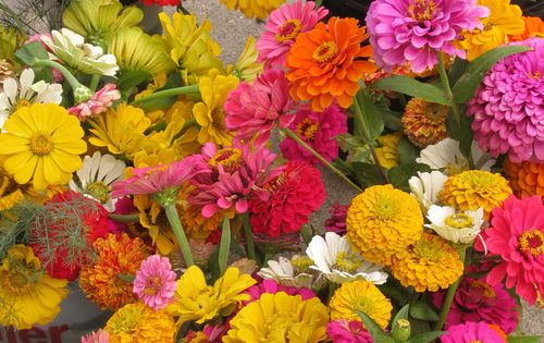 Zinnias such a sun loving heat tolerant hearty flower toss some seeds in prepared soil in - Flowers that love full sun and heat ...