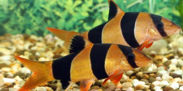 Fish Profile Clown Loach Clown Loach Aquarium Fish Fresh Water Fish Tank