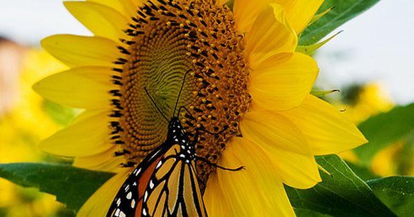Monarch Butterfly on a Sunflower. Flower Fields  http://flowerfieldsgallerymarilou.blogspot.com