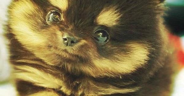 Pomeranian husky, Husky mix and Little puppies on Pinterest