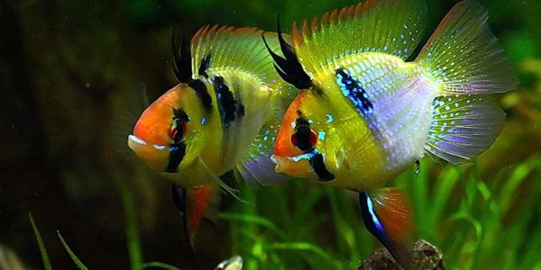 Blue Ram Cichlid Care Guide The Aquarium Guide Aquarium Fish Tropical Freshwater Fish Tropical Fish Aquarium