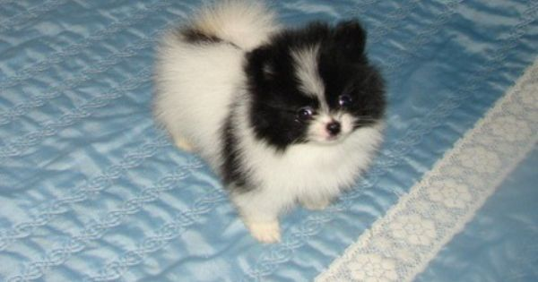 Jkhknvkf V Blacka Nd White Parti Carrier Pomeranian Puppies Pomeranian Puppy Pomeranian Puppy For Sale White Pomeranian Puppies