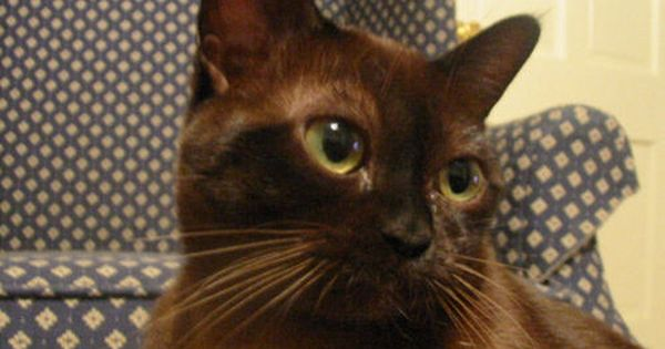 Pin By Cats In Care On Cat Breeds Burmese Cat Cat Breeds Types Of Cats Breeds