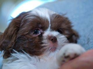 Akc Chocolate Liver And White Parti Shih Tzu Puppy Female Snow Shih Tzu Puppy Shitzu Puppies Dogs And Puppies
