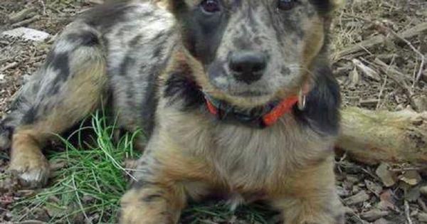 Australian Shepherd Mix Puppies Mi Australian Cattle Dog Blue Heeler ...