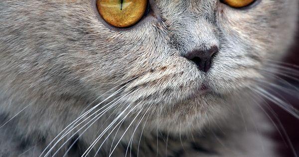 Cat - Amber eyes
