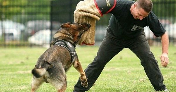 Extreme Trained Disciplined German Shepherd Dogs Shepherd