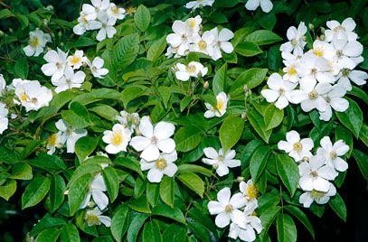 Rosa Filipes Kiftsgate Ra Rose Kiftsgate Rhs Gardening Fragrant Plant Plants Rose Flower