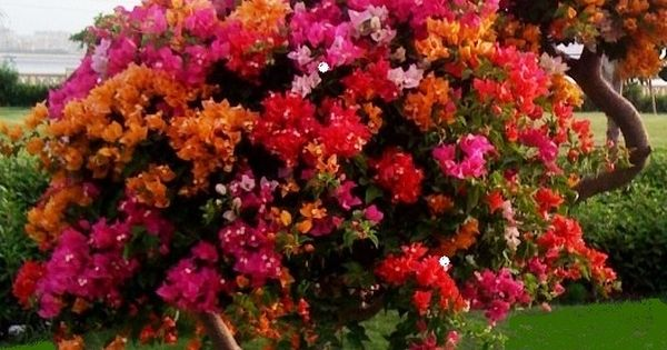 Bougainvillea tree! Flowers Garden Love.....this give me an idea