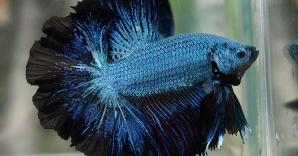 Black Green Lace Full Mask Siamese Fighting Fish How