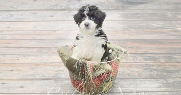 Checkout This Cute Aussiechon At Petland Novi 248 946 8241 Cute Puppies Pets Puppies