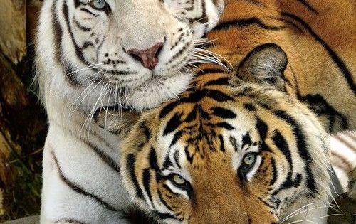 """White Tiger & """"Classic"""" Orange Bengal Tiger (favorite animal) :)"""