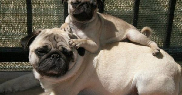 Pug and baby puggie