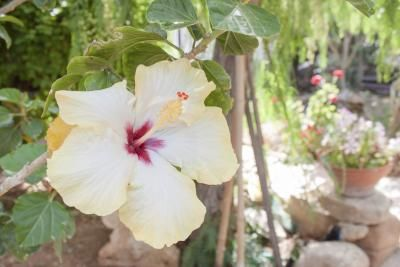 How To Care For Hibiscus Plants In The Winter Hibiscus Plant