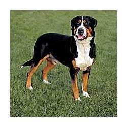 Appenzell Mountain Dog Greater Swiss Mountain Dog Working Dogs Breeds Swiss Mountain Dogs