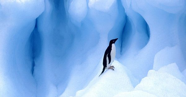 Penguin Wallpaper - http://www.56pic.com/animals-birds ...