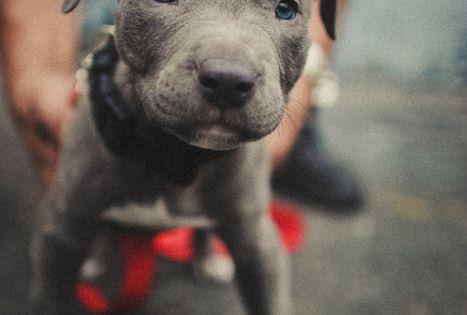 a pitbull behind blue eyes