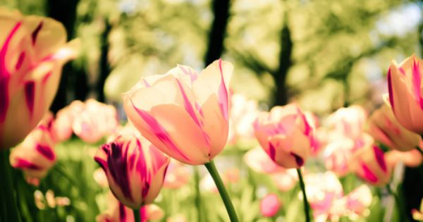 Tulips Flowers Little Reasons To Smile Dont Forget To Smile