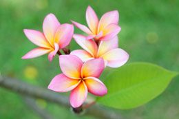 Plumeria Flower Meaning Fast Growing Trees Flower Meanings Plumeria