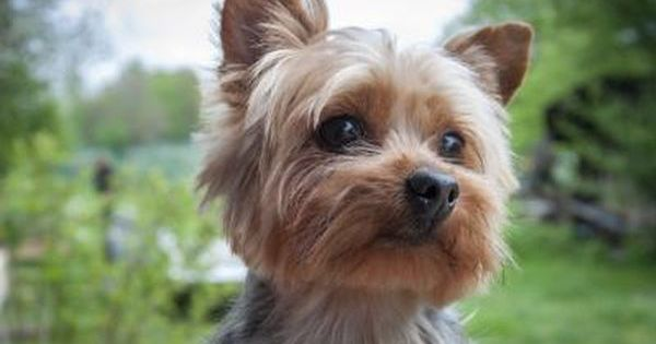 What Is the Difference Between a Yorkie & a Silky Terrier
