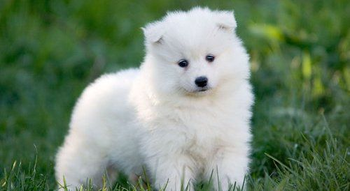 Female Samoyed Puppies For Sale Male And Female Samoyed Pupies Ready For Sale This Looks Like Penda When She Samoyed Puppy Samoyed Samoyed Puppies For Sale