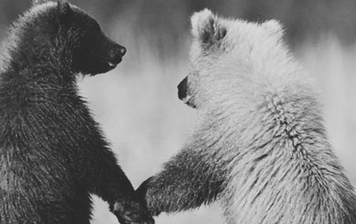 """Grizzly Bear Cubs"" [Photographed by ~Oliver Klink~ from the National Geographic Photo"