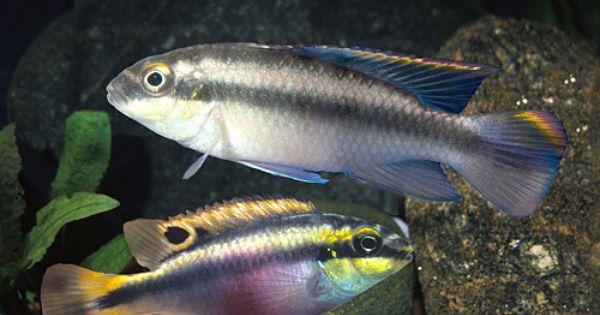 Segrest Farms Tropical Fish Tanks Cichlids Aquarium Fish