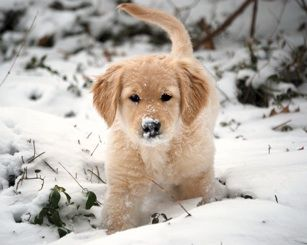 A Golden Retriever Pup Playing In The Snow 3 Puppies Cute Baby