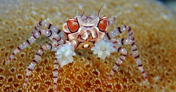 Boxing Crab / Cangrejo Boxeador / Lybia edmondsoni They are notable for