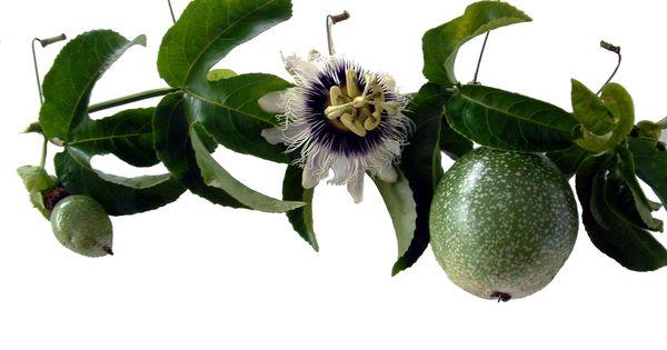 The Passion Flower Passion Fruit Juice Passion Fruit Passion Flower