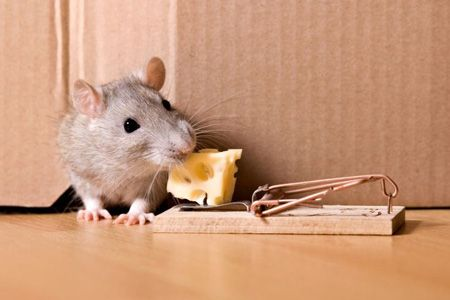 How To Get Rid Of Rodents Getting Rid Of Mice Rodents Flea Prevention