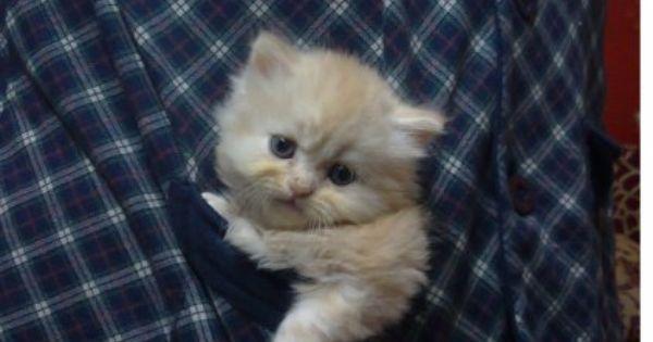 قطط شيرازى شانشيلا للبيع عمر 45 يوم شقيه جدا تربيه منزليه مدربه على الحمام وعلى نداء الاسم الوانها ابيض فى مشمشى ورمادى فاتح ورمادى غامق وم Pets Cats Animals