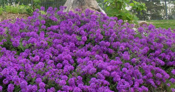 Need ASAP: Moss Verbena may end up being your favorite groundcover. It