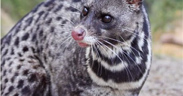 Malay Civet Viverra Tangalunga Unusual Animals Weird Animals