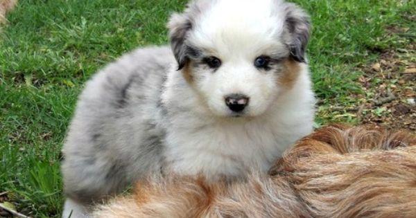 Ryder Is A Blue Merle Australian Shepherd He Is So Cute With