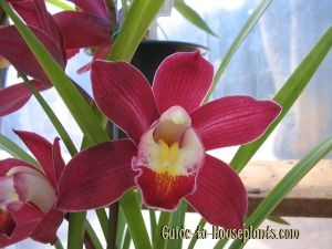 Cymbidium Orchid Plants Are Easy To Grow As House Plants Get Cymbidium Orchid Care Tips And Find Ou Cymbidium Orchids Care Cymbidium Orchids