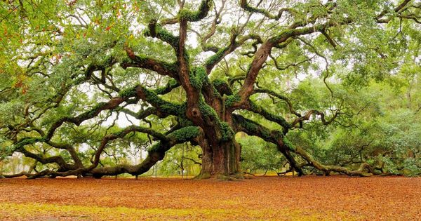 The Angel Oak Tree in Charleston - Estimated to be over 1,400