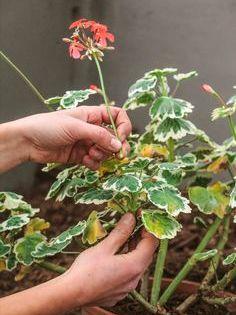 Geranium Entretien Rempotage Et Bouturage Jardinage En Pots Trucs Et Astuces Jardinage Geranium