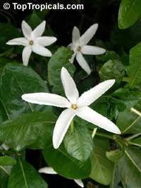 Gardenia Posoqueria Shooting Star Gardenia Single Flowers Rare